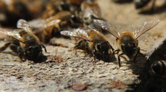 Descubren miles de abejas bajo el tejado de su casa