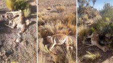 vicuñas