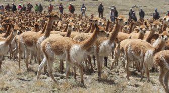 Putina,Chaku de vicuñas.