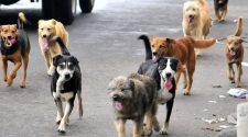 Perros callejeros-Puno