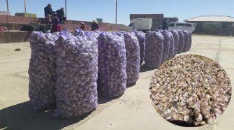 En Acora cosechan más de 40 toneladas de ajo orgánico