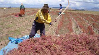 Productores de Quinua en Puno